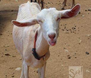 funny-goat
